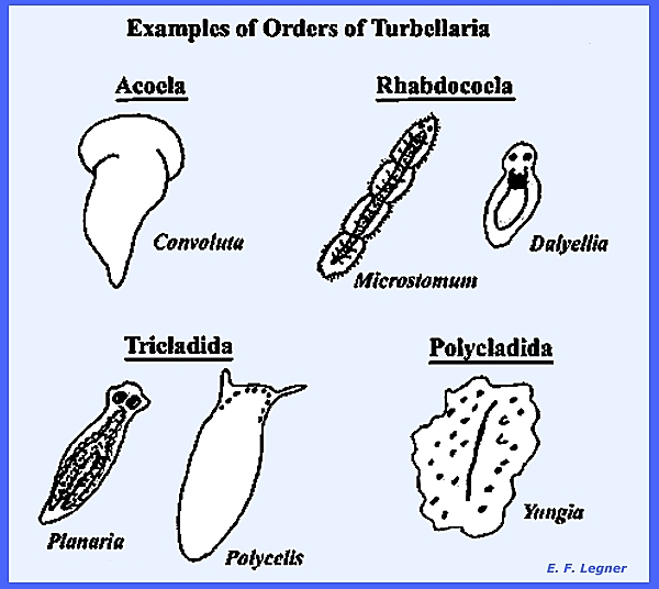 File Platyhelminthes
