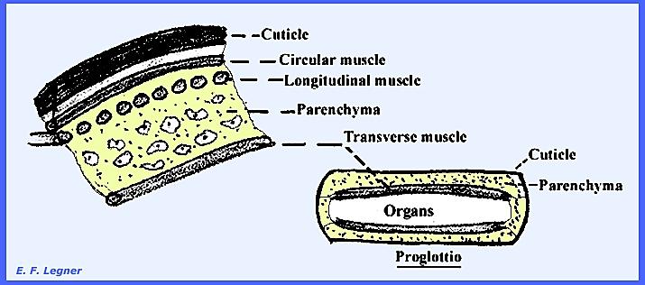 filo platyhelminthes osztályú turbellária megelőző parazitaellenes gyógyszerek