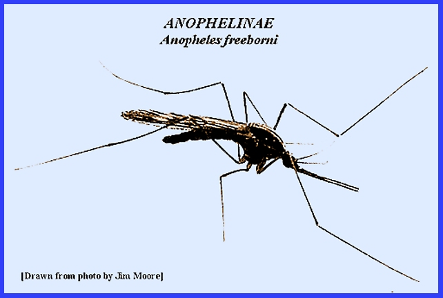 anopheles quadrimaculators vectors Setts than aedes vexans, anopheles punctipennis, and anopheles quadrimaculatus key words culicidae tial vectors on the basis of criteria for transmitting.