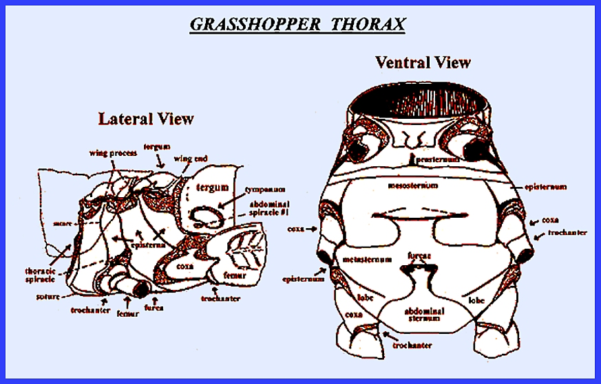 Insect Thorax